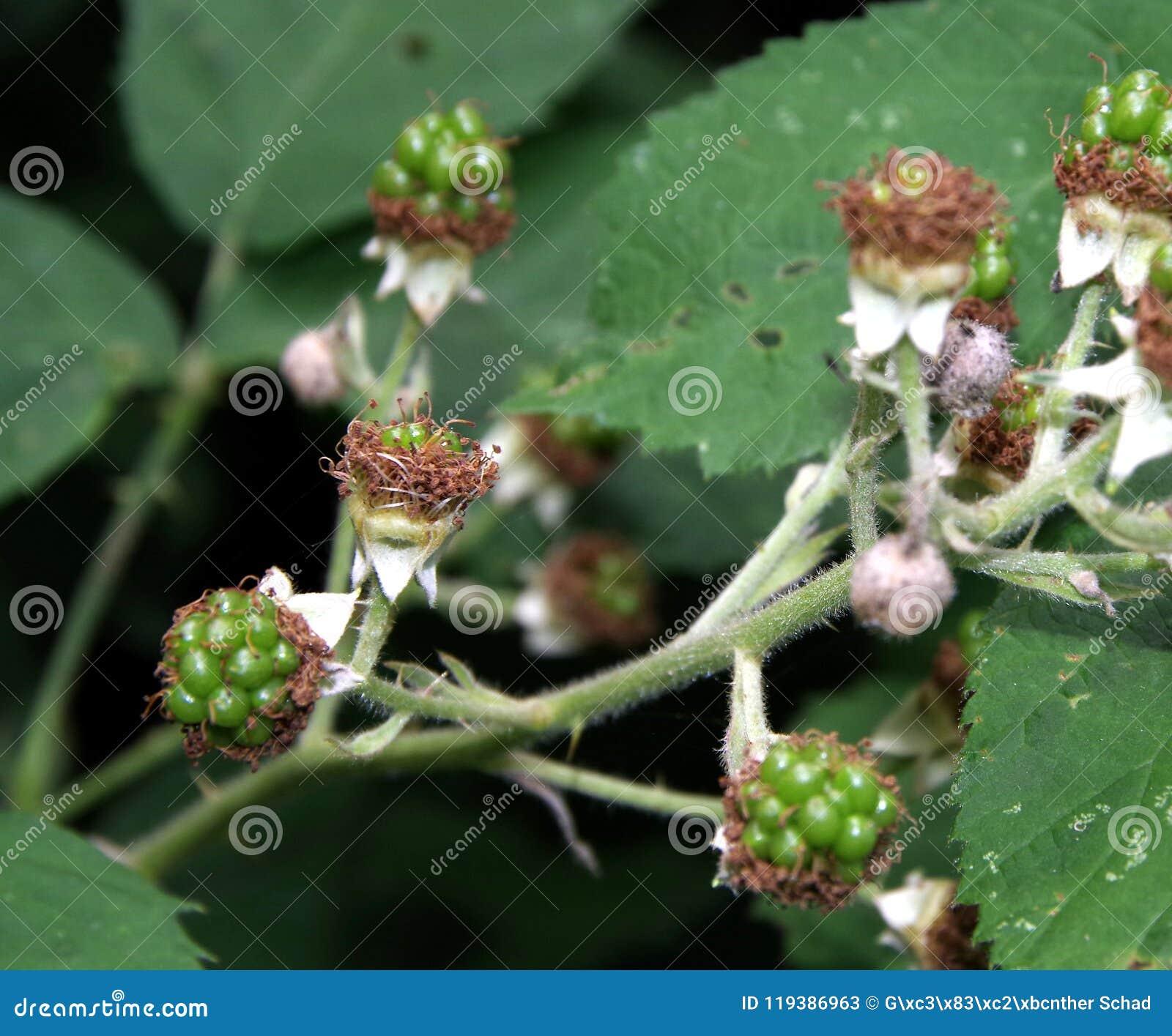 Bardzo młode owoc czernica