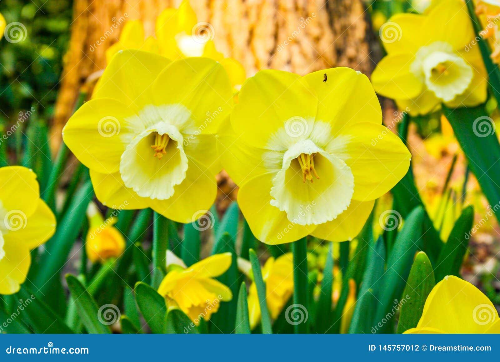 Bardzo piękny i ładni dwa żółtego tulipanu w przedpolu