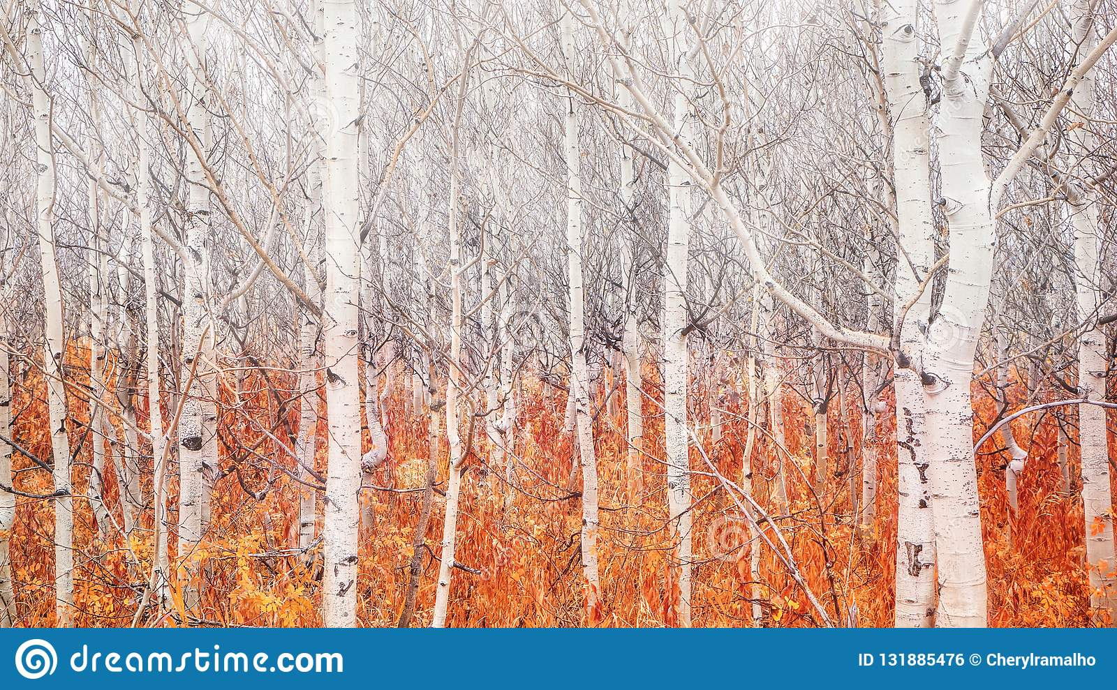 Bare aspen trees with fallen autumn foliage showing that winter is coming.