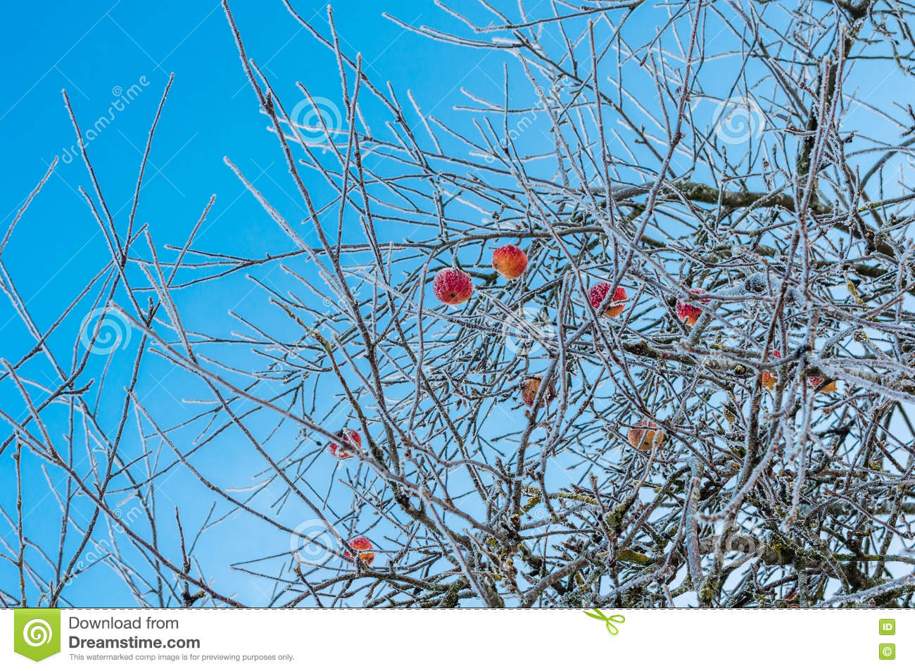 Bare and hoarfrosted apple trees with frozen red apples on it