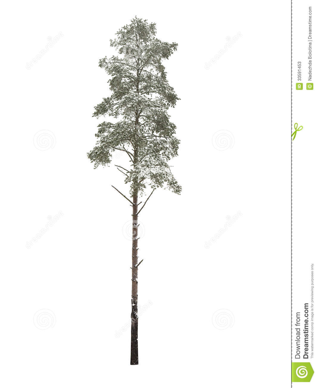 Bare Pine tree Isolated Over White Stock Photos Image 33591453