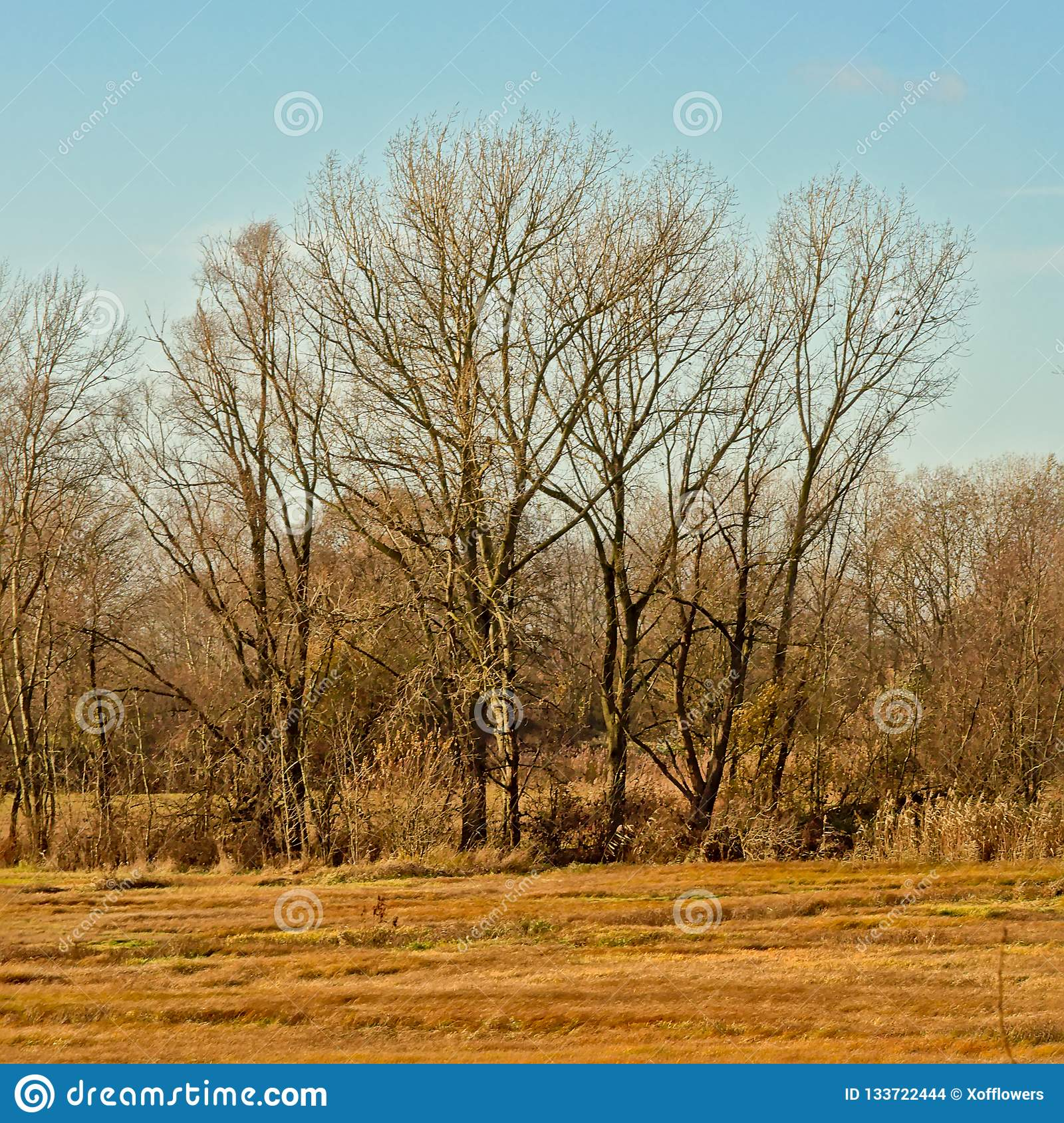 Bare winter elm trees in a sunny marsh landscape with meadows with dried golden gras and reed