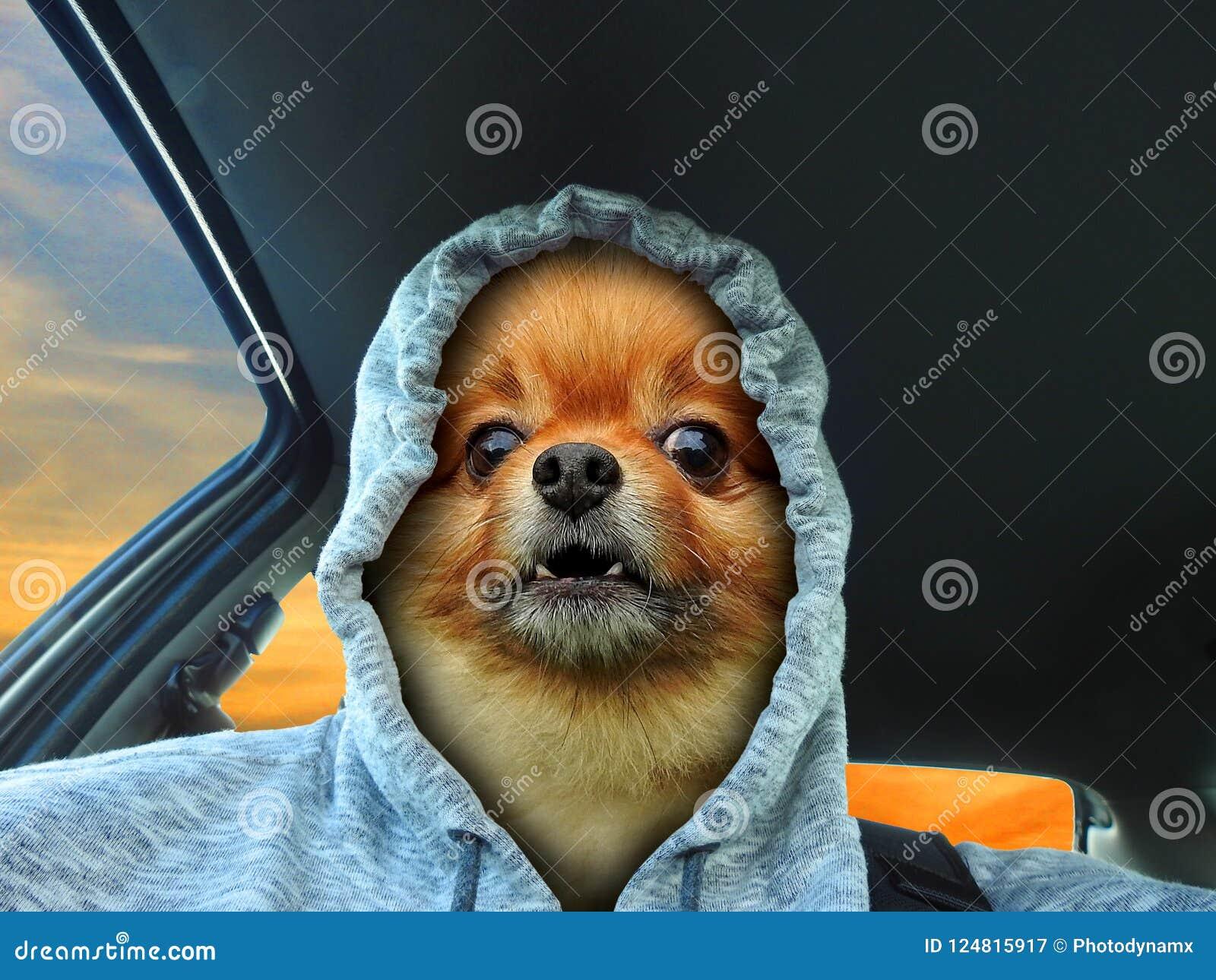 Baring δόντια οδηγών αυτοκινήτων προσώπου σκυλιών hoodie