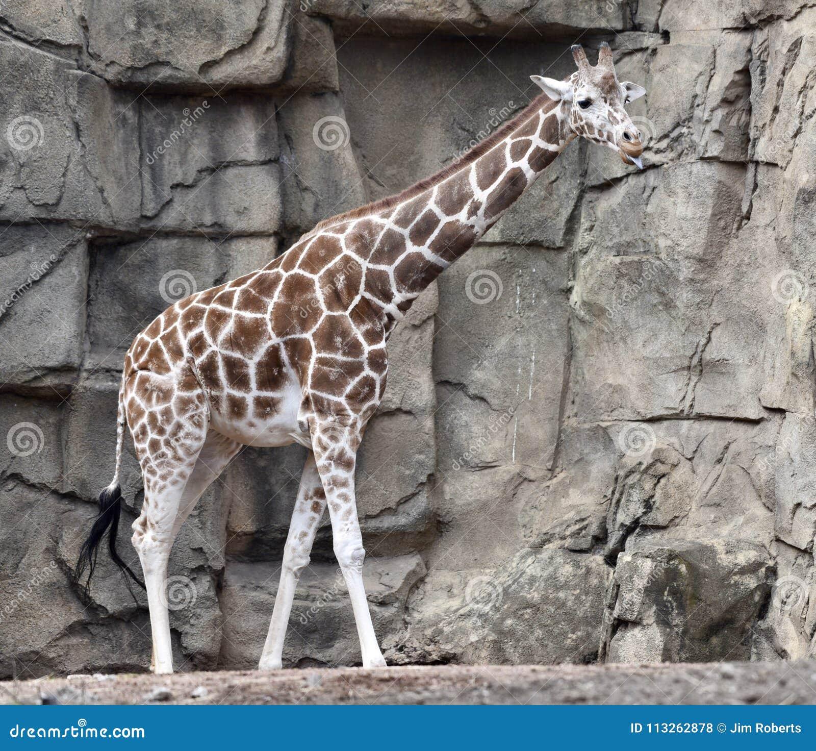 Baringo Африки Анголы Ботсвана может на восток найти giraffe Намибия к западной Зимбабве