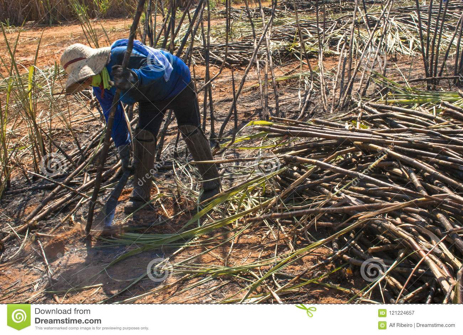 Sugar cane manual harvesting