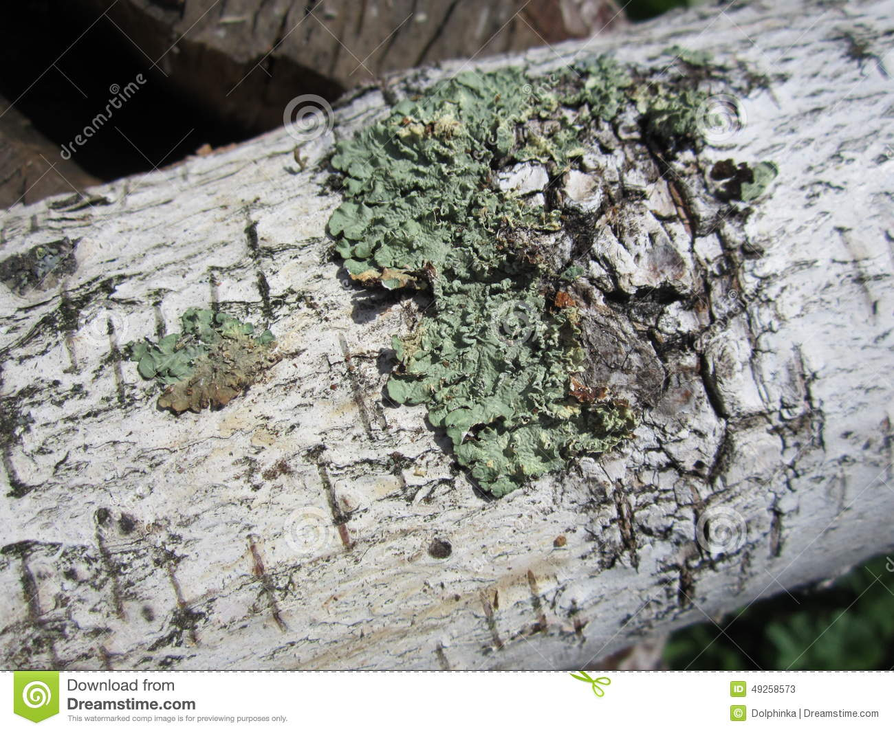 Bark Birch Bark Birch Wood Texture Elm Birch Firewood Logs