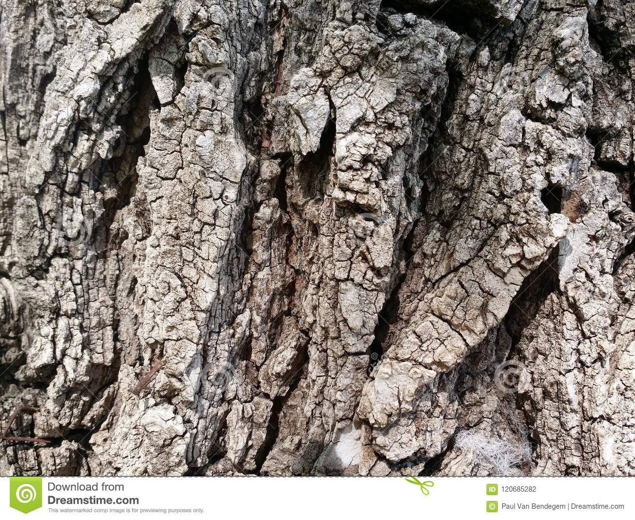 hidden faces in the bark stock photo image of faces 120685282