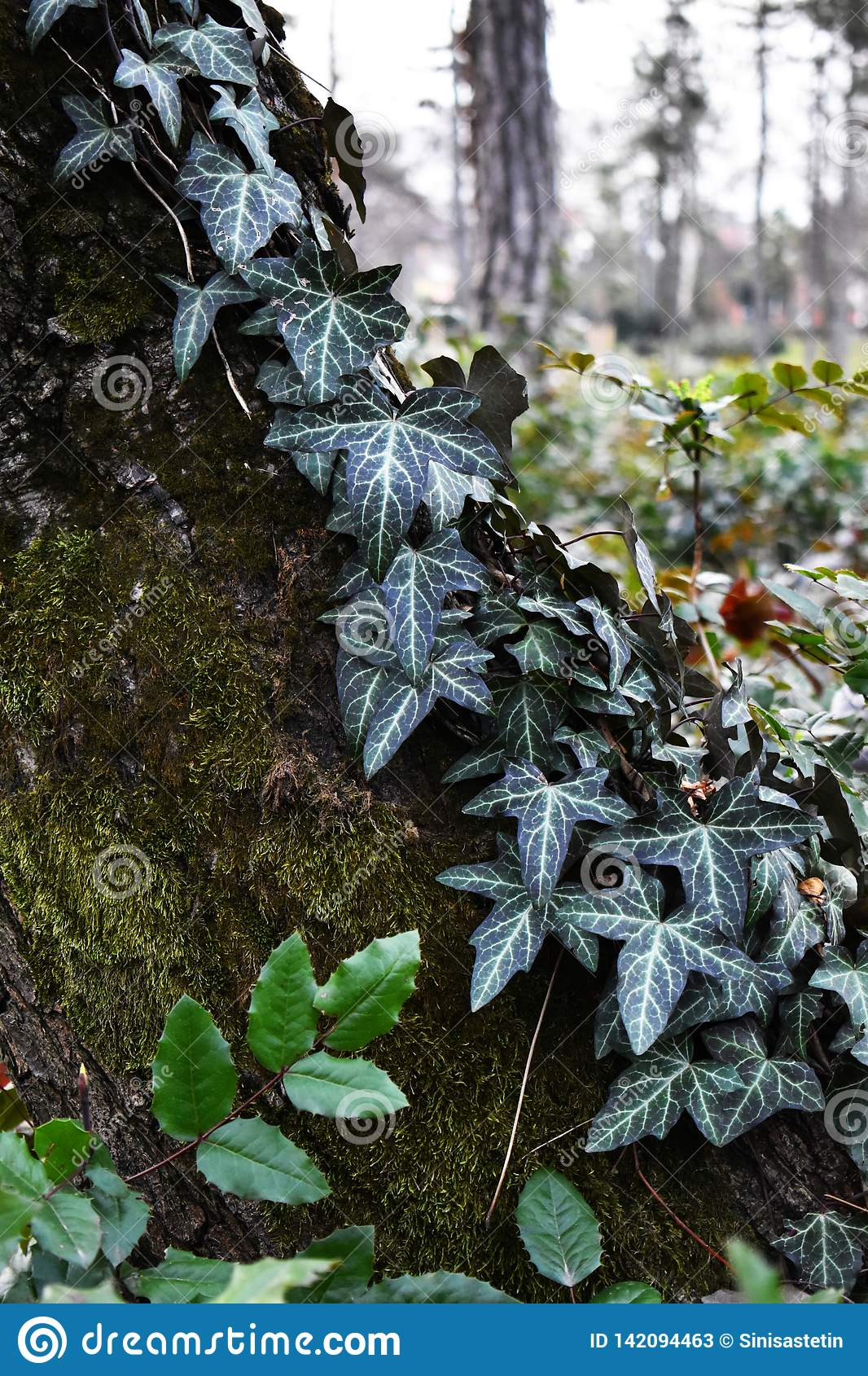 Ivy and moss over bark