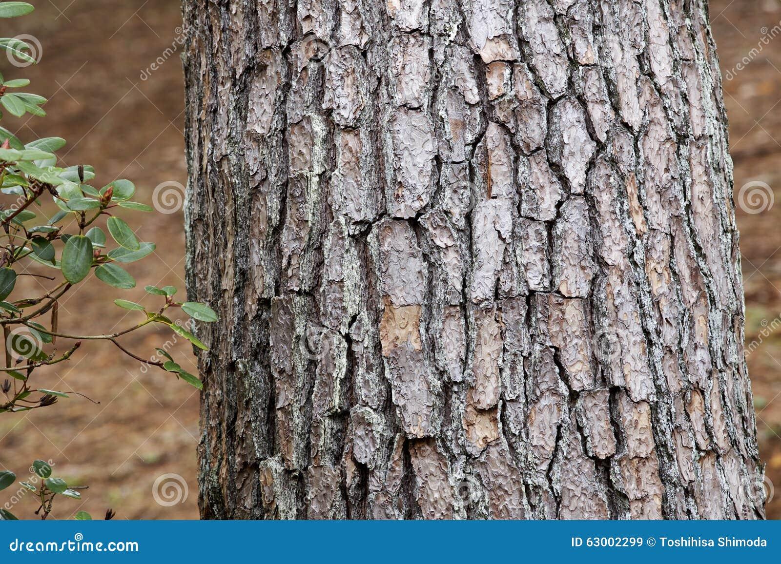 bark of red pine stock photo image 63002299. Black Bedroom Furniture Sets. Home Design Ideas