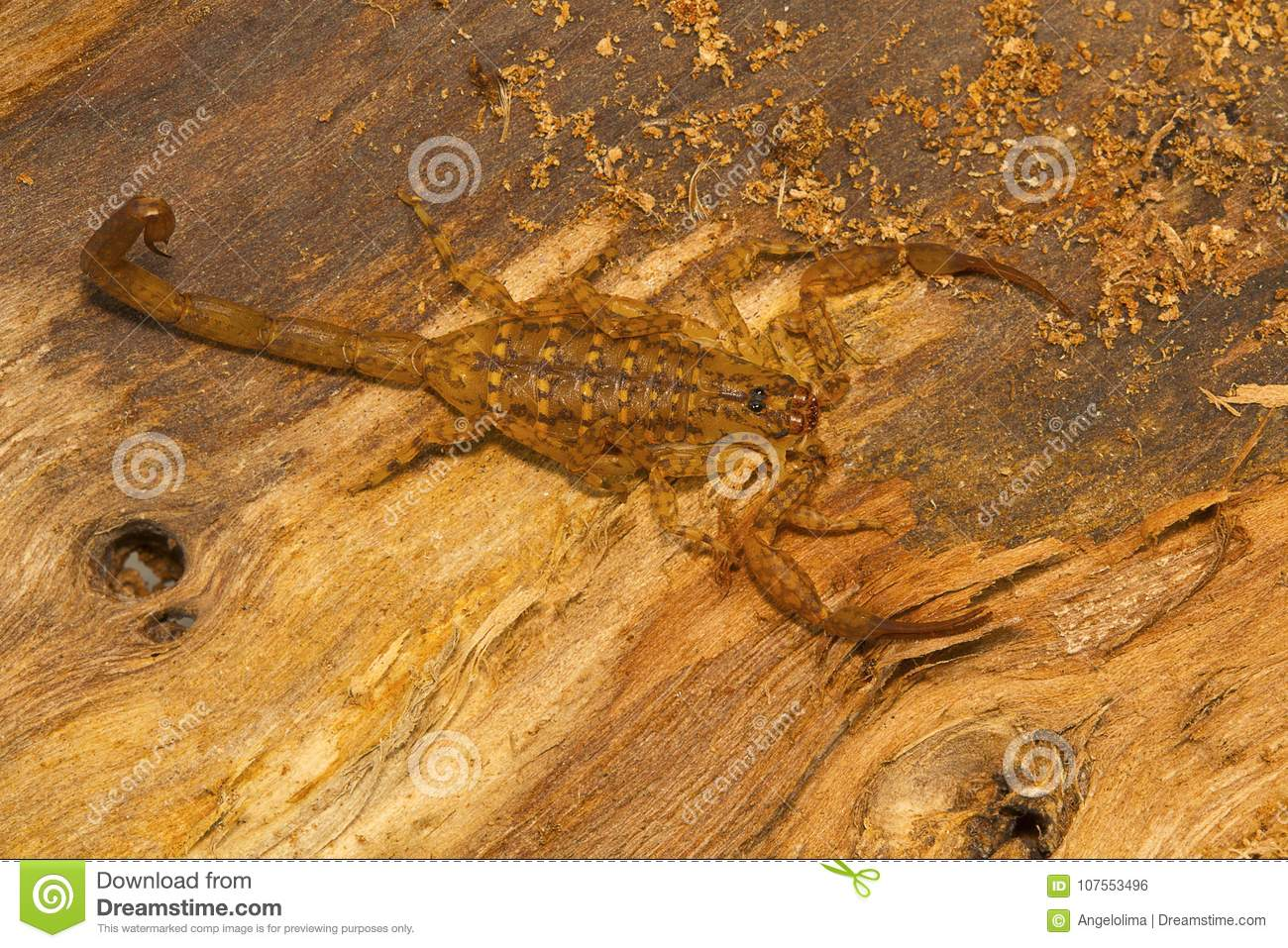 Bark Scorpion, Isometrus Vittatus Which Bears A Long