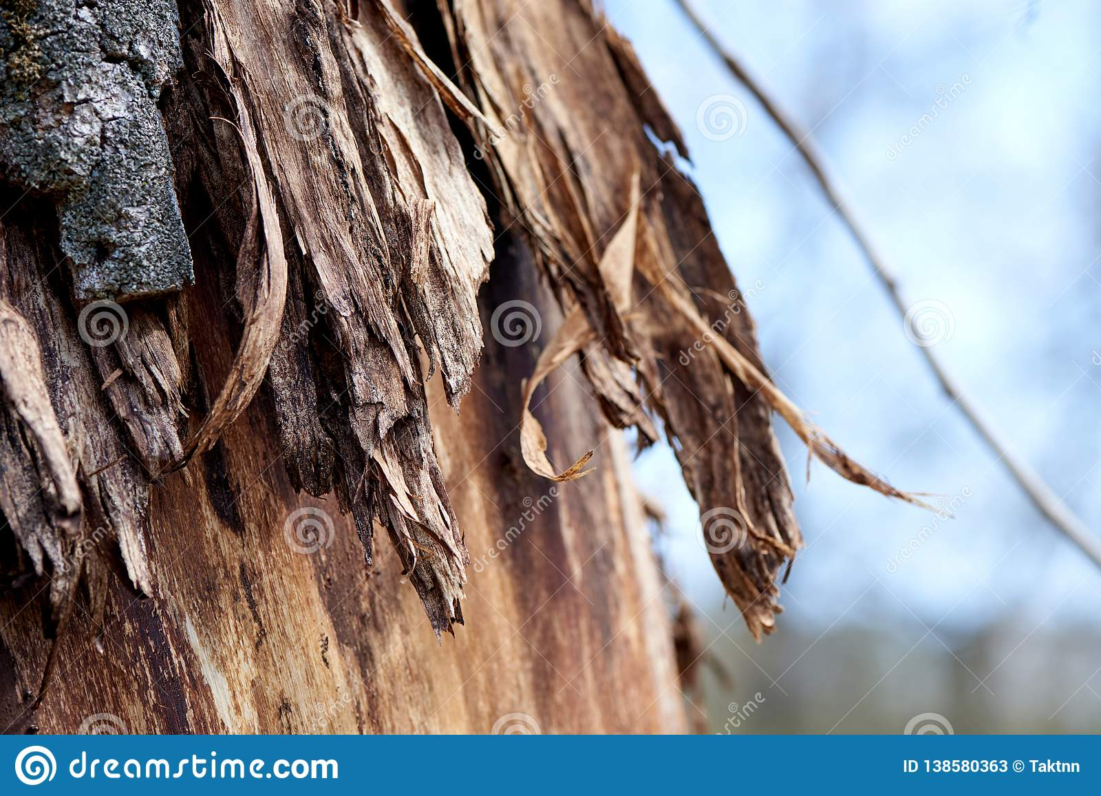 Bark on a tree partially flayed