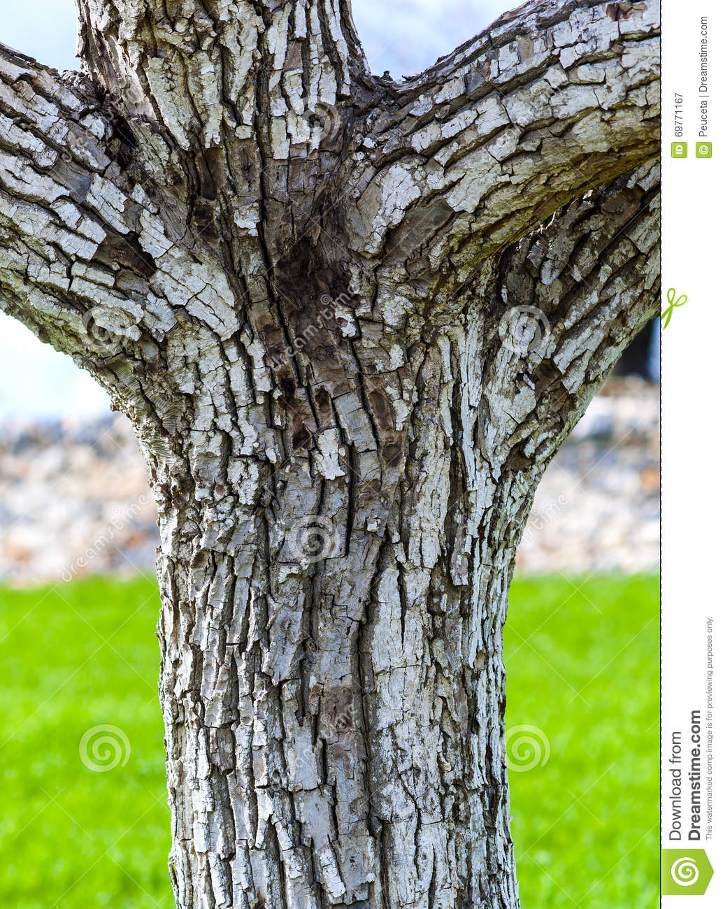 bark of a tree trunk walnut stock image image 69771167