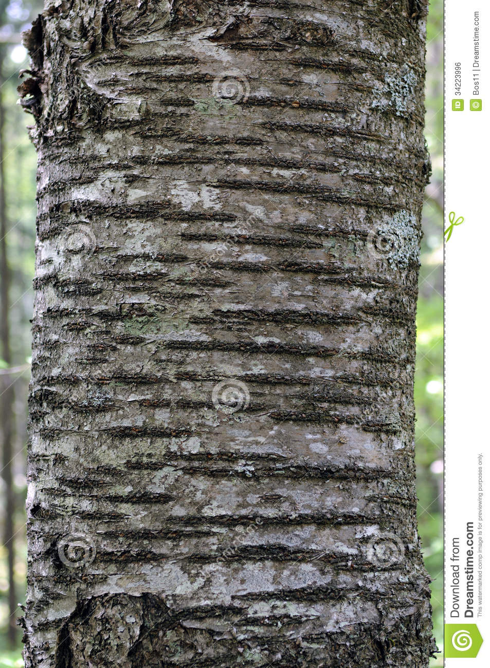 Bark of wild cherry  P...