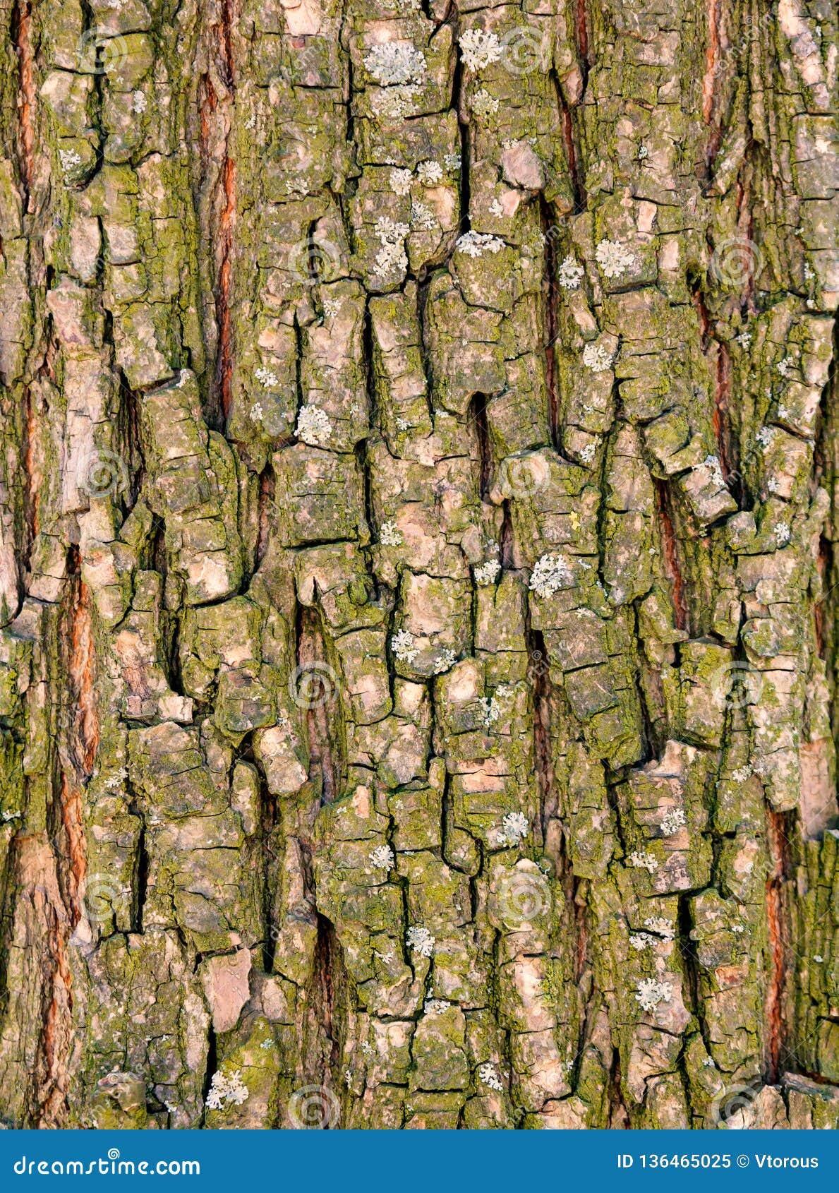 Barkenbeschaffenheit des alten Baums