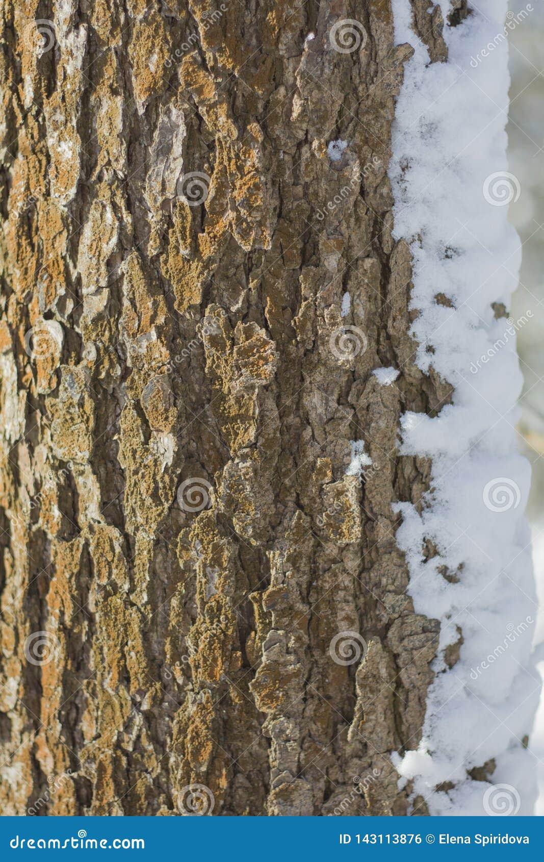 Barkentyna drzewo z silną teksturą zakrywającą z śnieżnymi zasłonami
