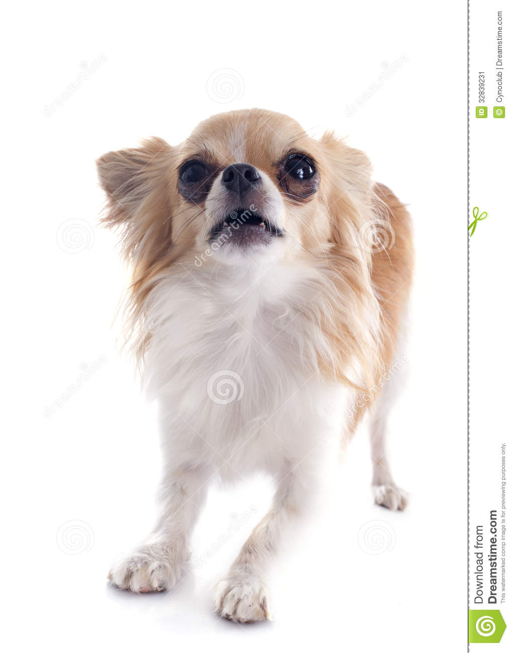 how to stop a chihuahua from barking