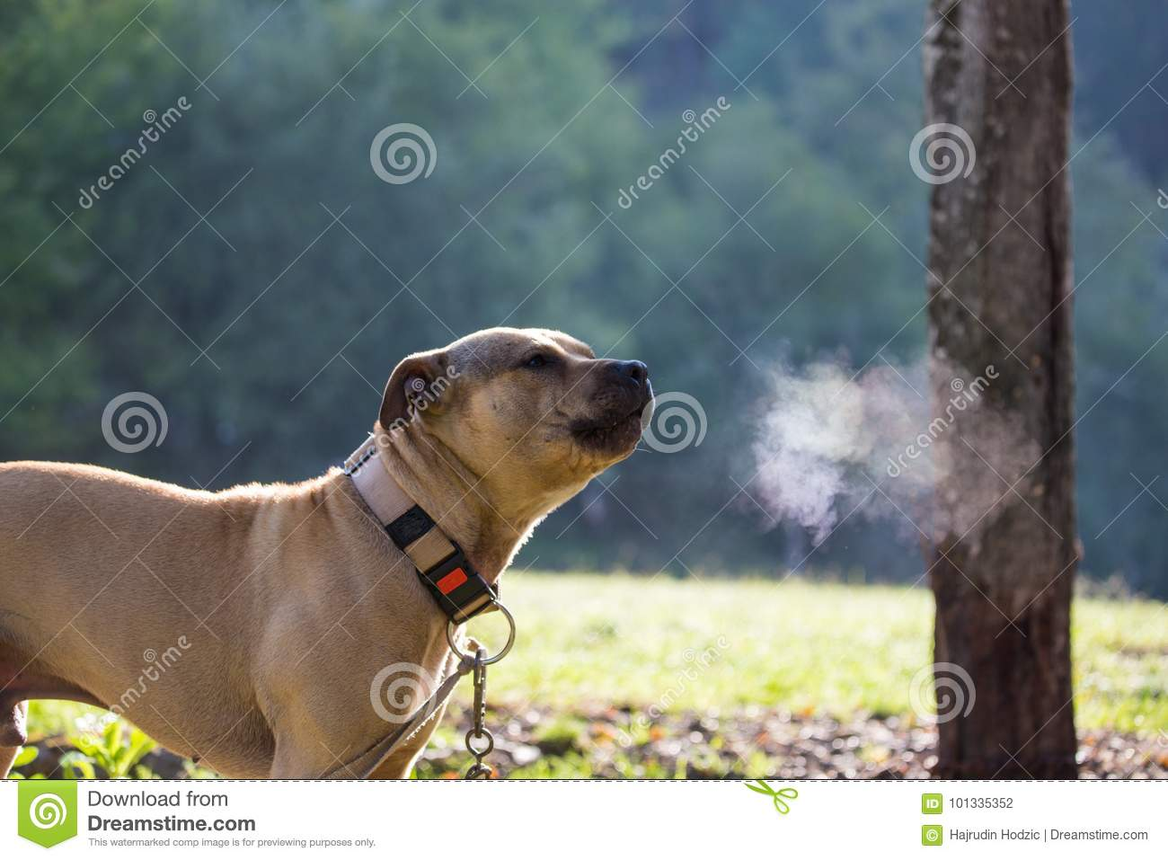 Barking Dog With Necklace Around The Neck In Nature In The Mor