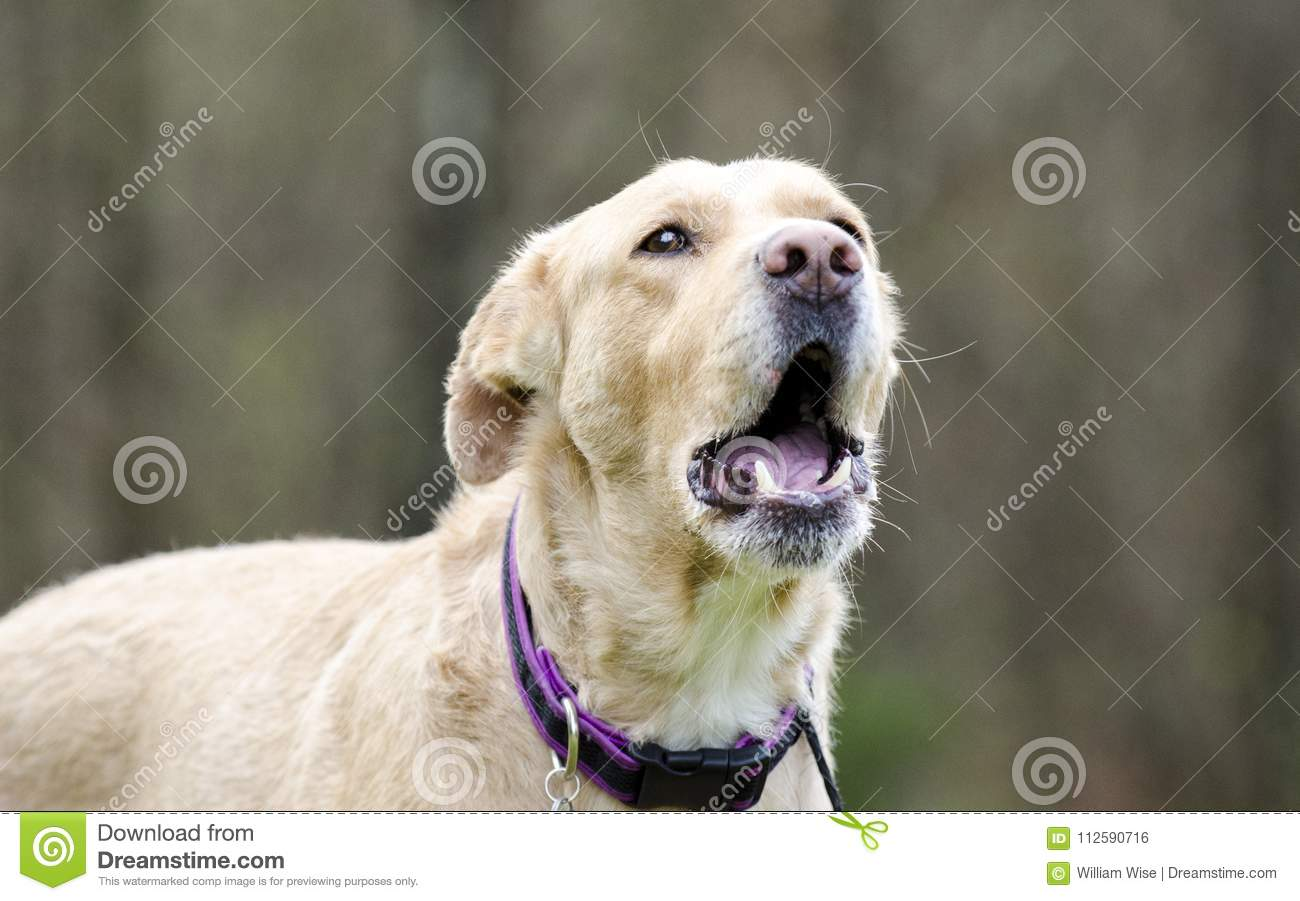 Barking Golden Retriever Lab Mixed Breed Dog Stock Photo Image Of
