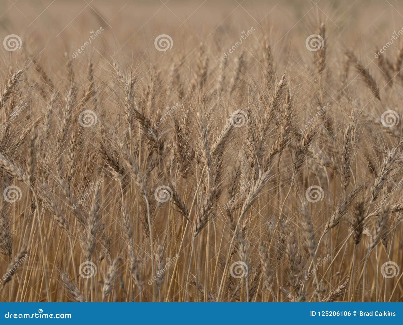 Barley crop background