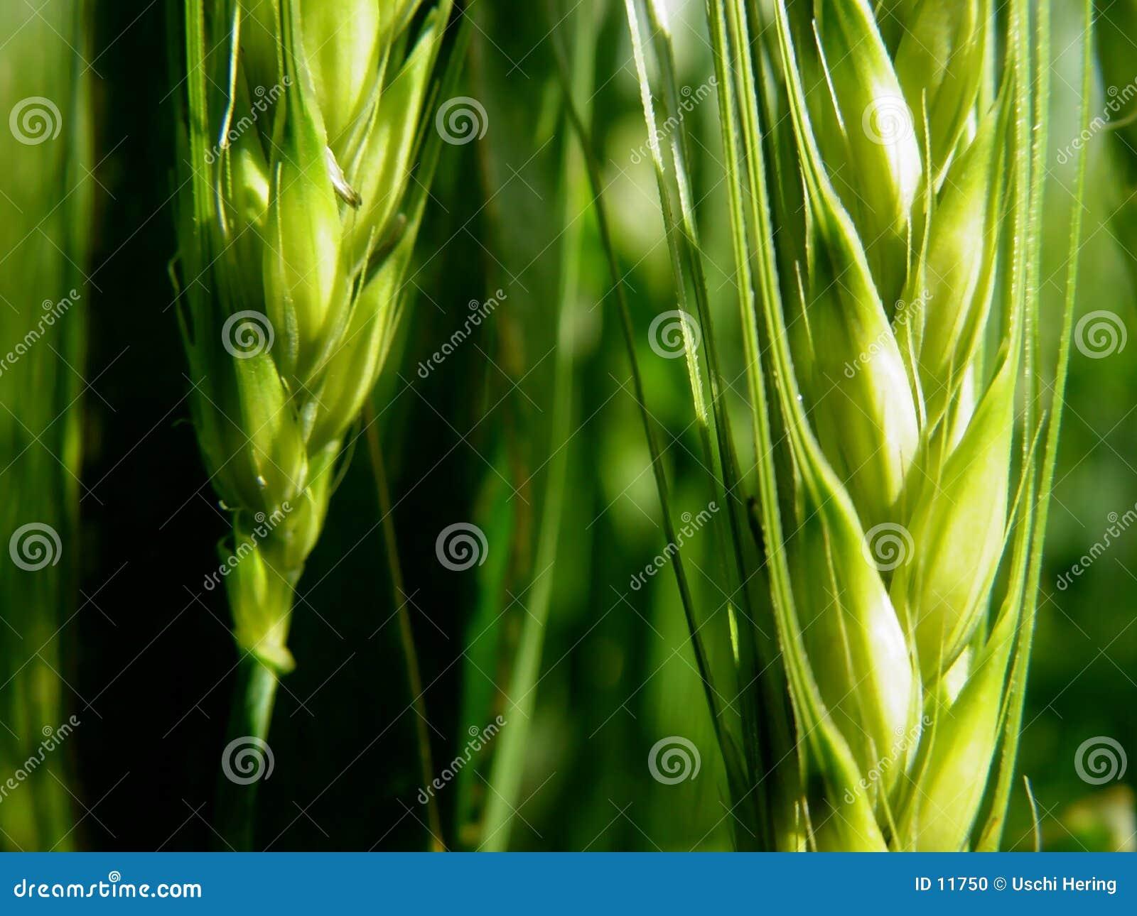 barley ears