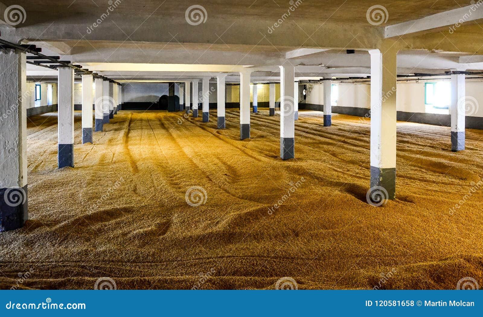 Barley malt on malting floor in distillery, Scotland