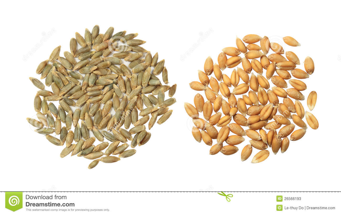 Cereal grains seeds barley, rye and wheat on white.