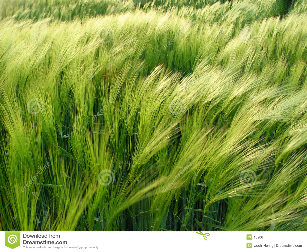 barley in the wind
