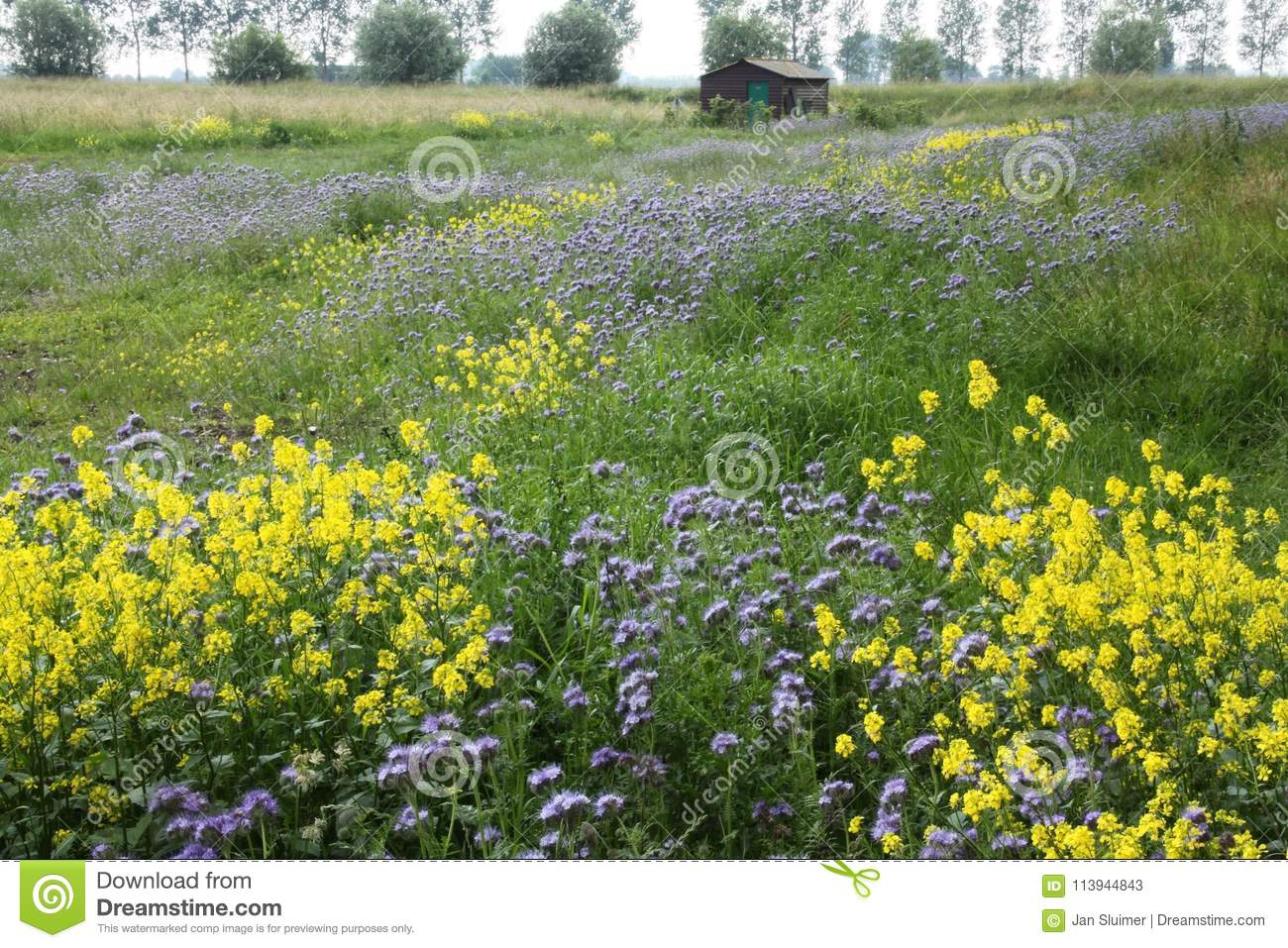 A barn and blooming coleseed and phacelia.