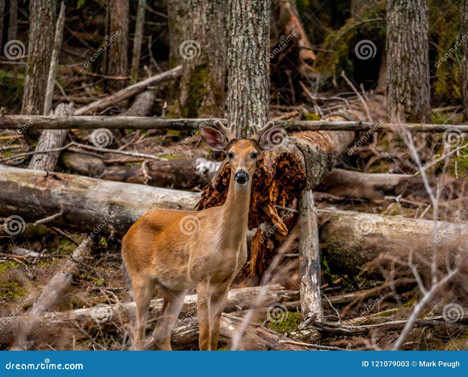 Barn Buck Whitetail Takes Time som av visar hans fotogeniska kvaliteter