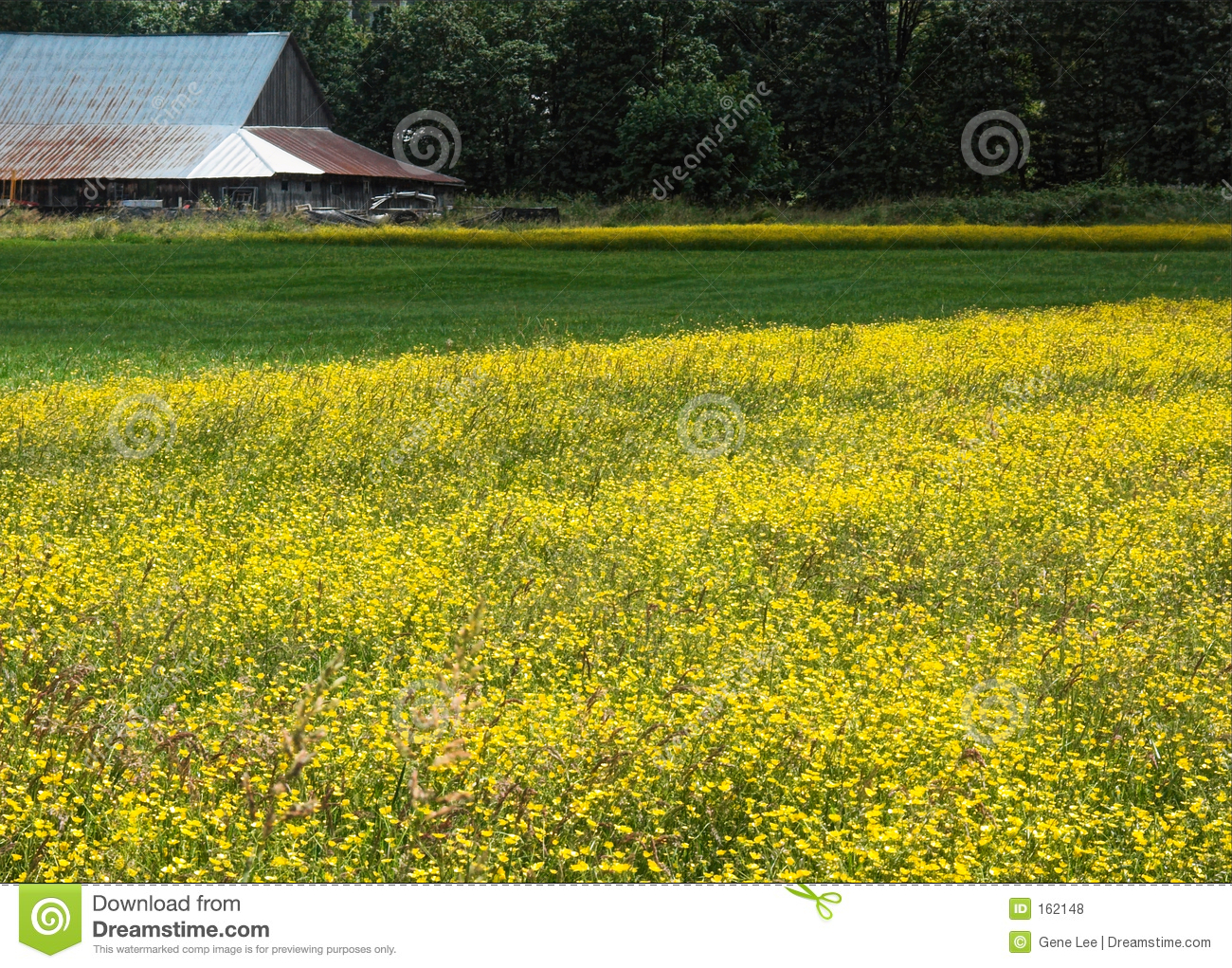 Barn and Buttercups