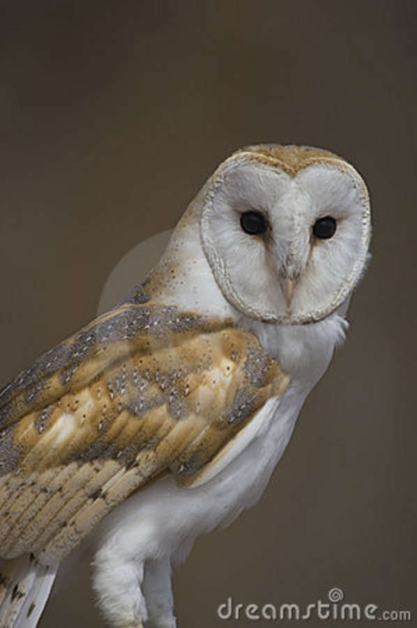 Barn Owl stock image. Image of carnivore, barn, feather ...