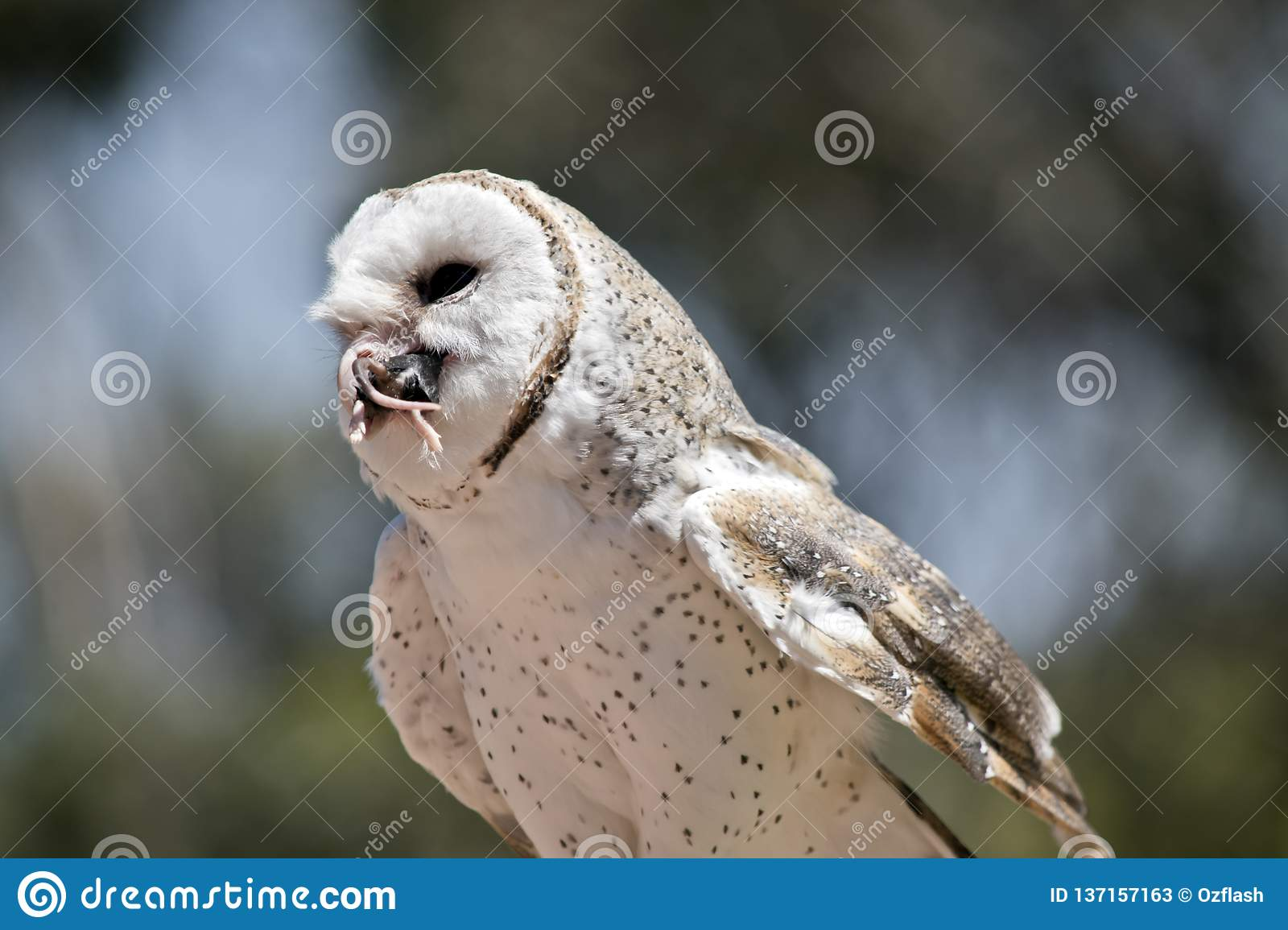 A barn owl stock image. Image of nesting, prey, close ...
