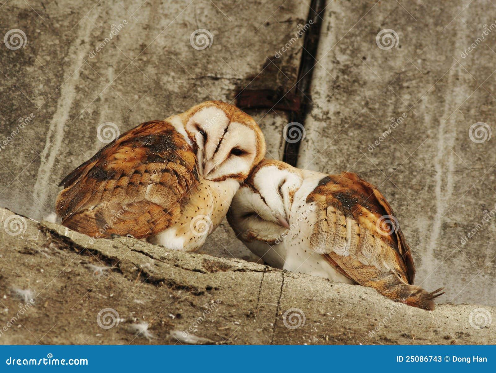 Barn Owl Couple Stock Photos Image 25086743