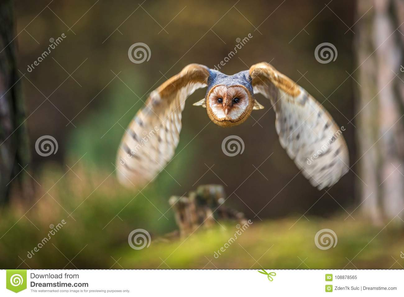 Barn owl flying into forest