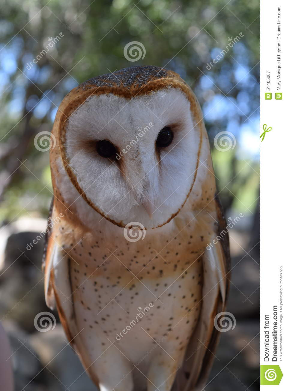 Barn Owl Looking Directly At The Camera Stock Image ...