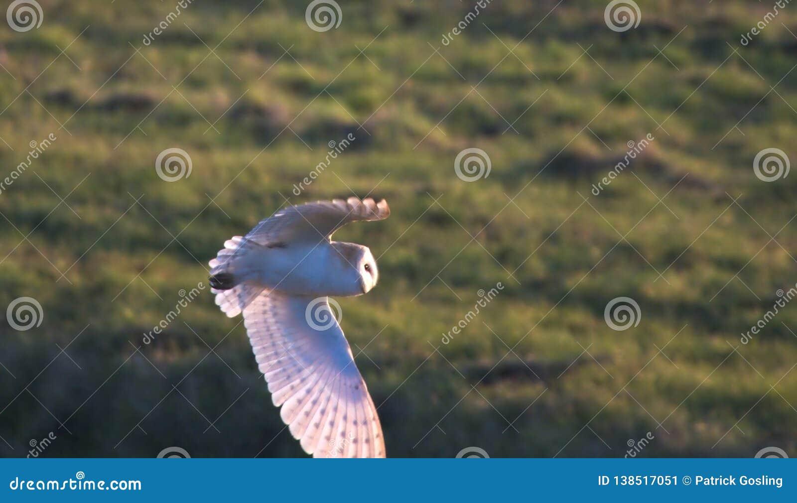 Barn Owl looking for prey.