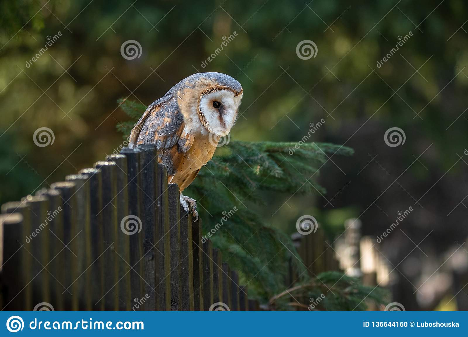 The barn owl is the most widely distributed species of owl and one of the most widespread of all birds.