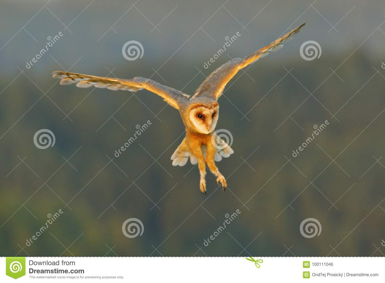 Barn Owl, nice light bird in flight, in the grass, outstretched wings, action wildlife scene from nature, United Kingdom . Forest