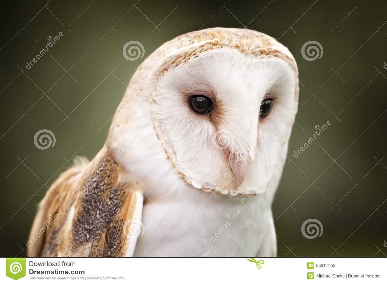 Barn Owl stock image. Image of fields, face, chest, buffy ...