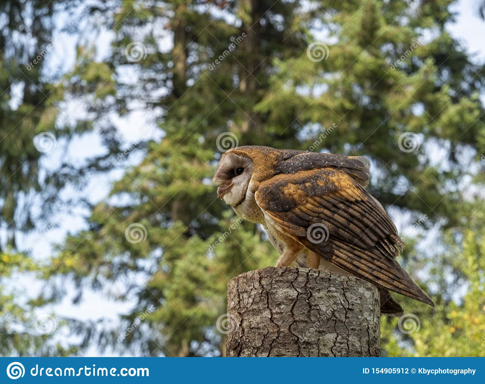 Barn Owl Perched And Crouched On A Tree Stump With Meat In ...