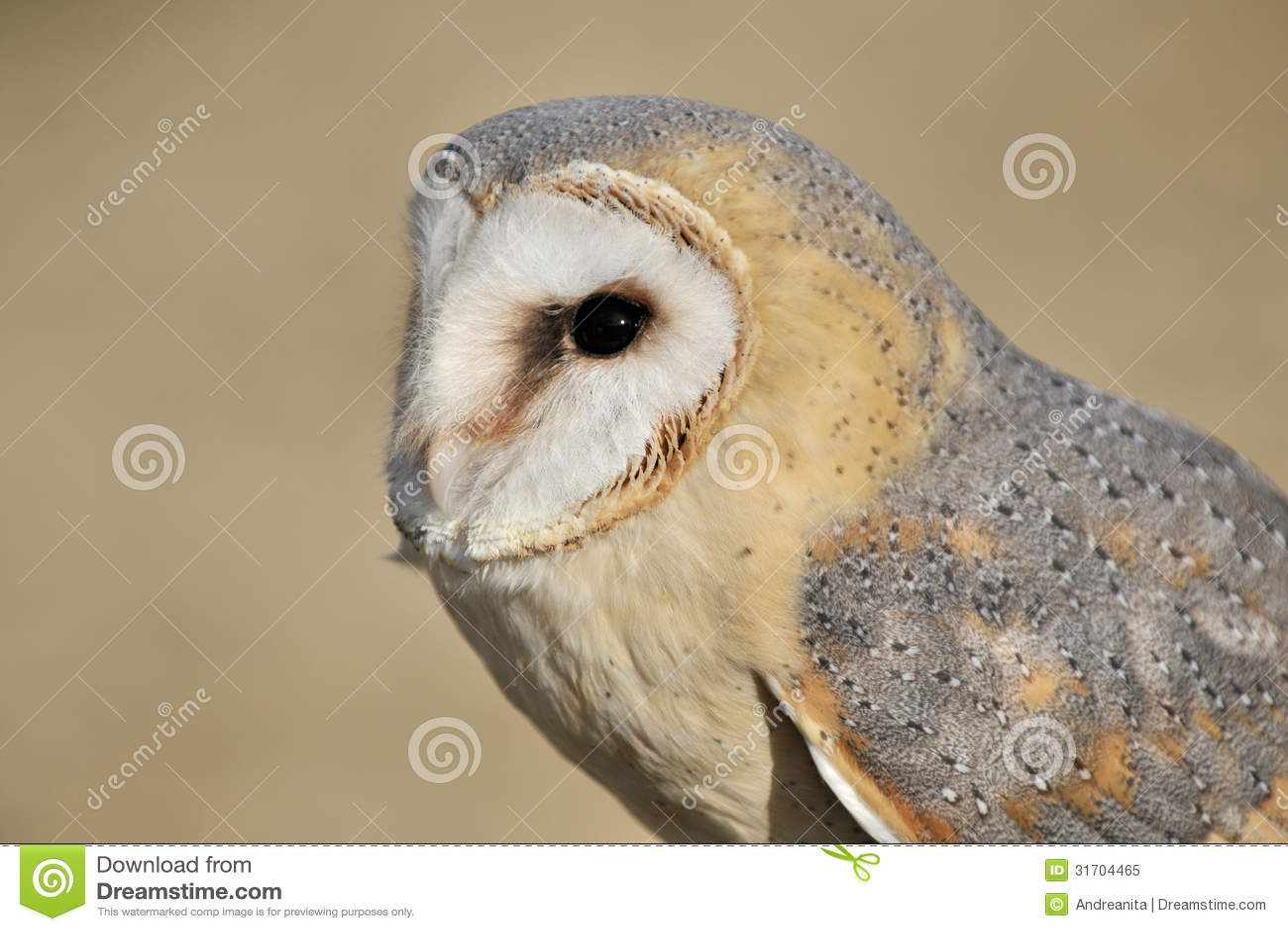 Barn Owl stock image. Image of colorful, left, beak, bird ...