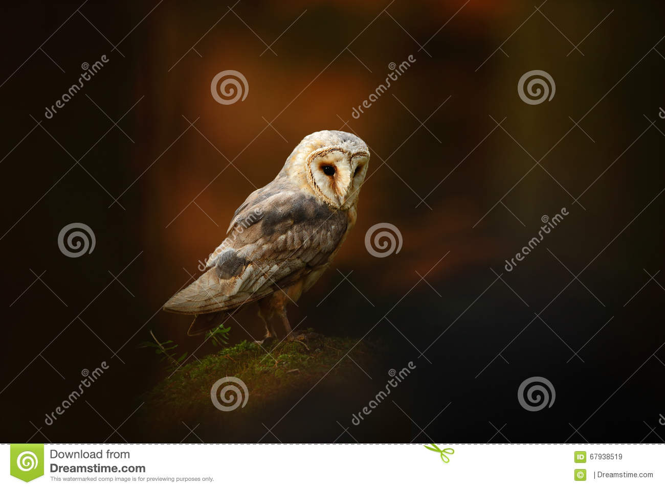 Barn Owl Sitting On Stone In Dark Forest Stock Image ...