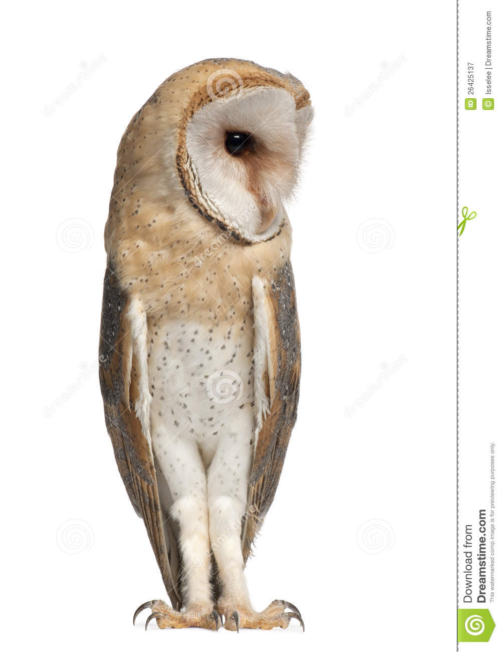 Barn Owl Tyto Alba 4 Months Old Standing Stock Image
