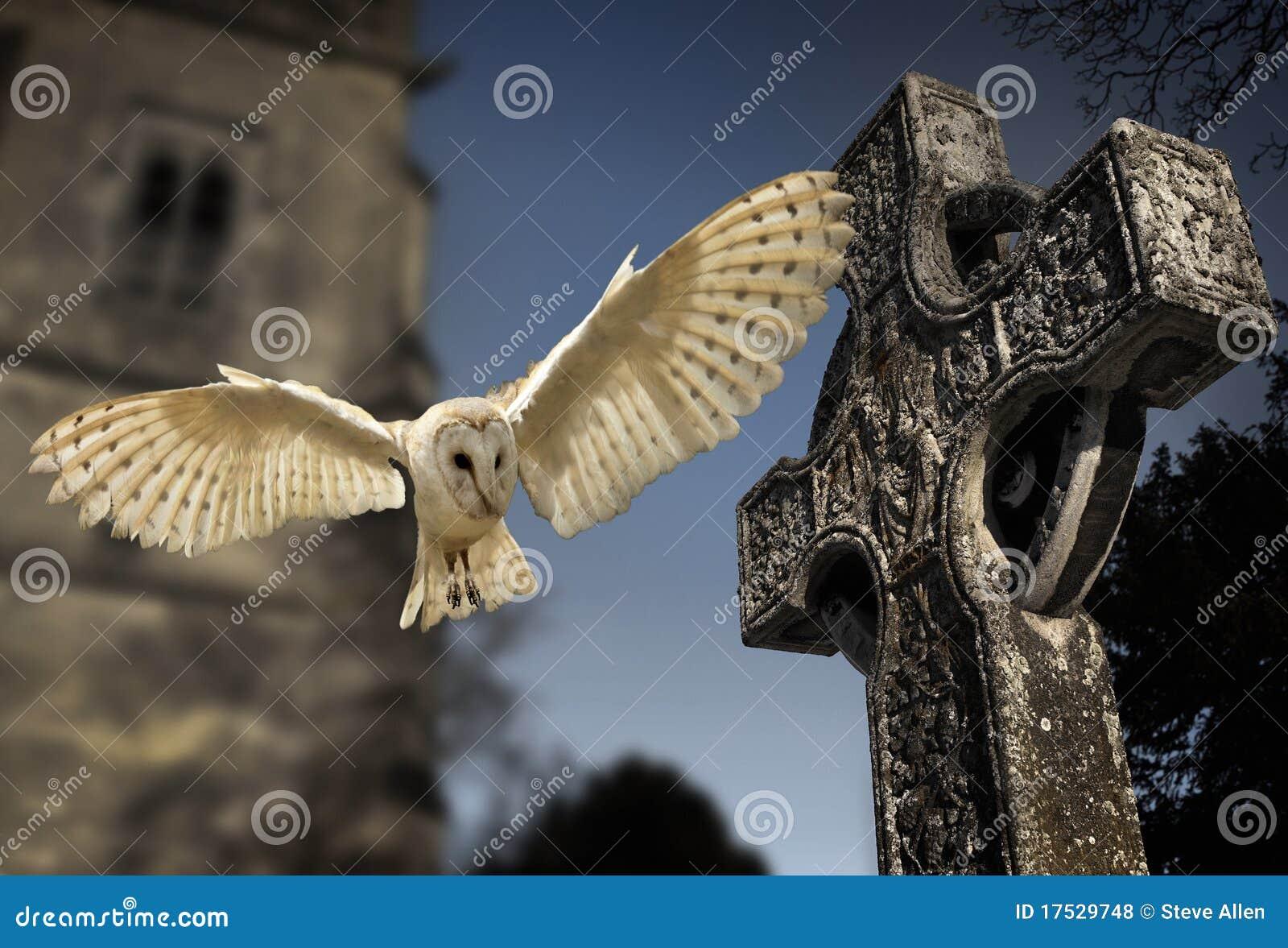 Barn Owl (Tyto alba) - Graveyard in England