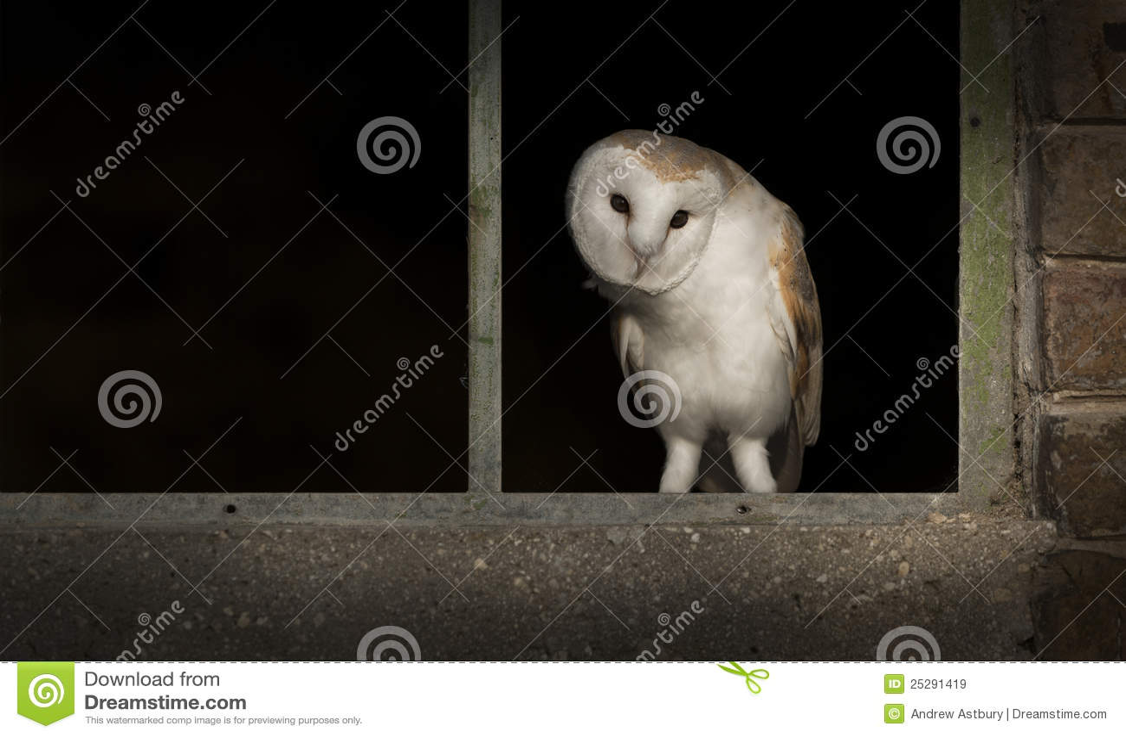 Barn Owl in Window