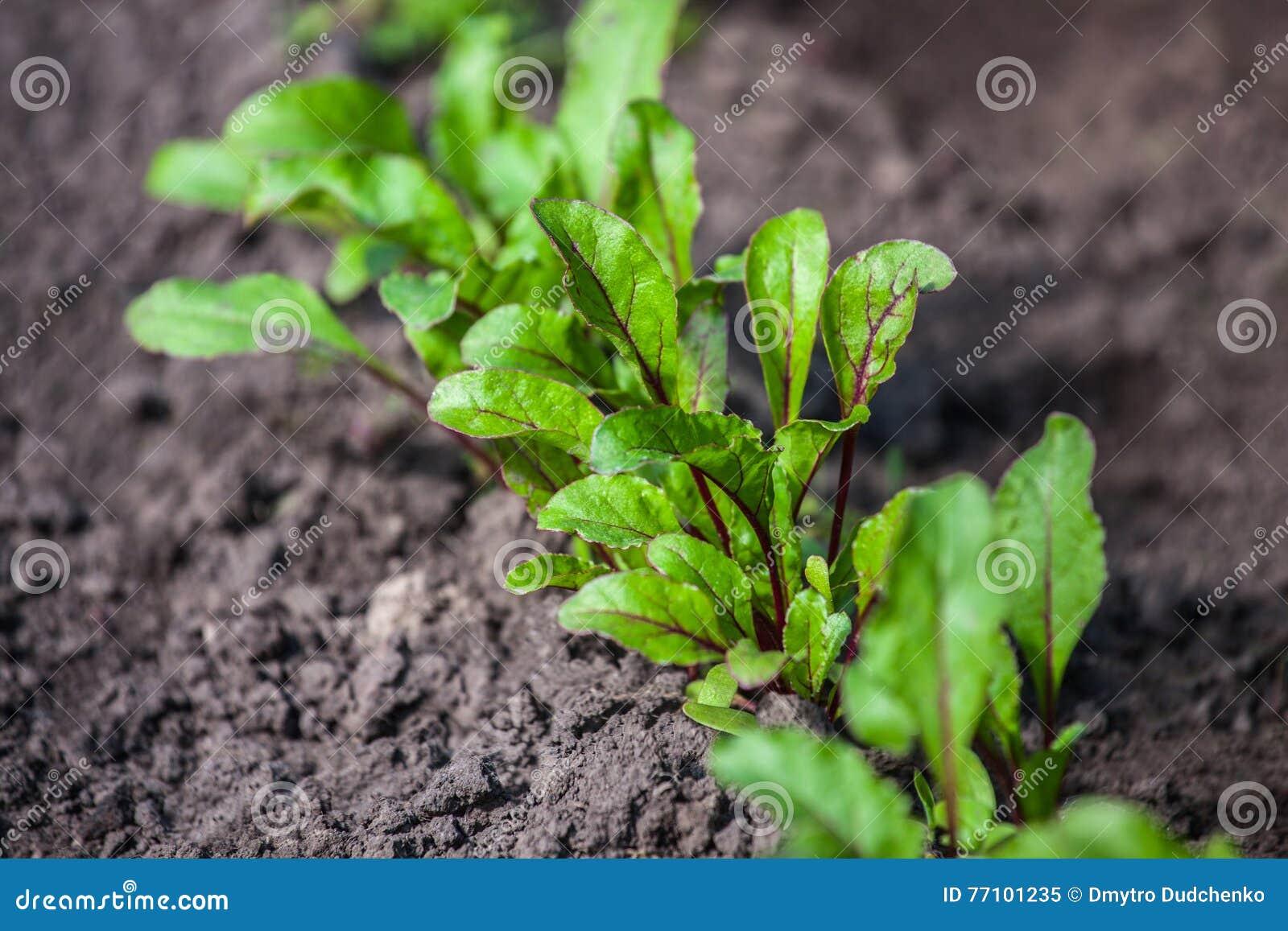 Barn spirad beta som växer i öppen jordplan säng in i trädgården