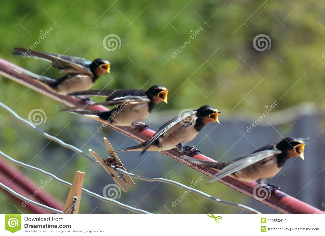 Barn Swallow Baby Birds Family Waiting For Eating With ...