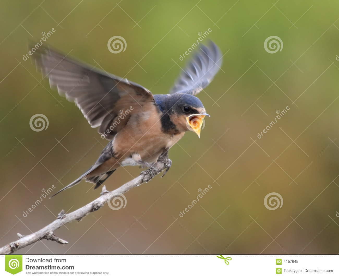 Barn Swallow Begging For Food Royalty Free Stock Photo ...