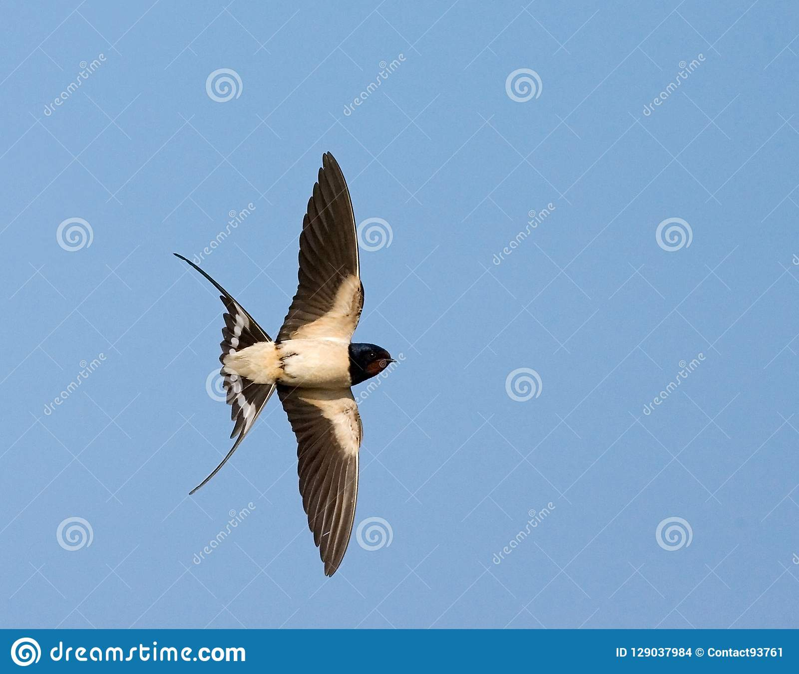 Barn Swallow, Boerenzwaluw, Hirundo rustica