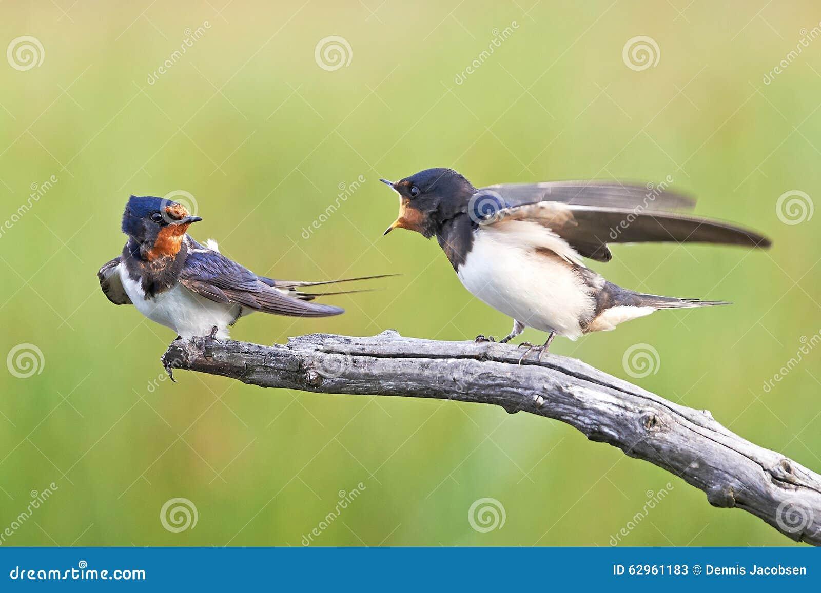 Barn Swallow (Hirundo Rustica) Stock Photo - Image: 62961183